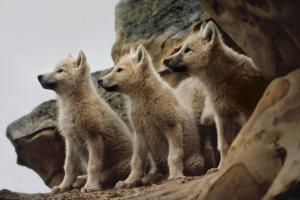 lupi piccoli